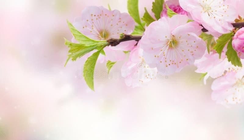 Blomstra rosa trädblommor arkivbilder