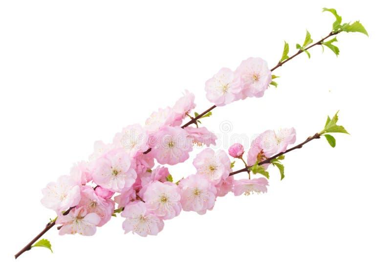 Blomstra rosa trädblommor royaltyfria foton
