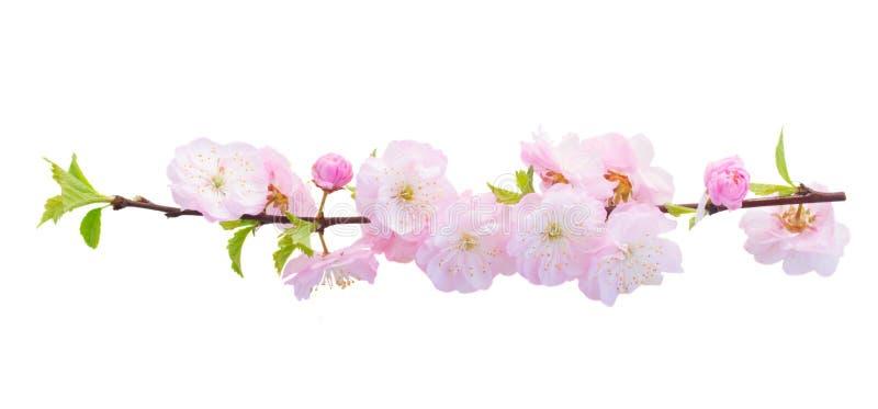 Blomstra rosa trädblommor royaltyfria bilder