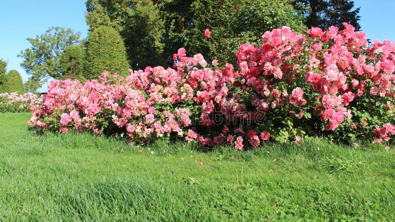 Blomstra söta rosa rosor med grönt gräs och varmt solljus arkivbilder