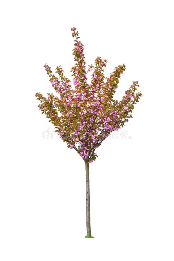 Blomstra sacuraträdet som isoleras på vit royaltyfri bild