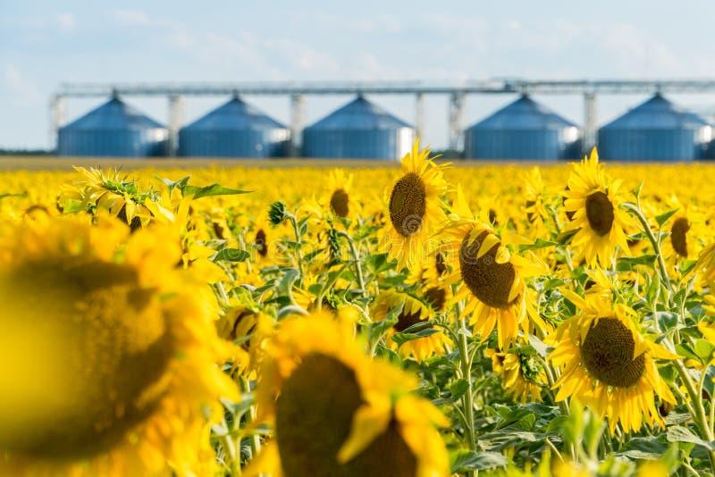 Blomstra solrosfältet med en skörd som lagrar hissen på en bakgrund royaltyfria bilder