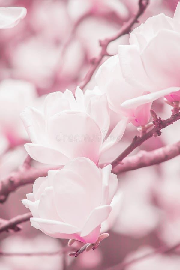 Blomstra som ?r ljust - rosa magnoliablommor ?r i filialerna av magnoliatr?d, mjuka vintersoluppg?ngsken p? rosa blommor arkivfoto