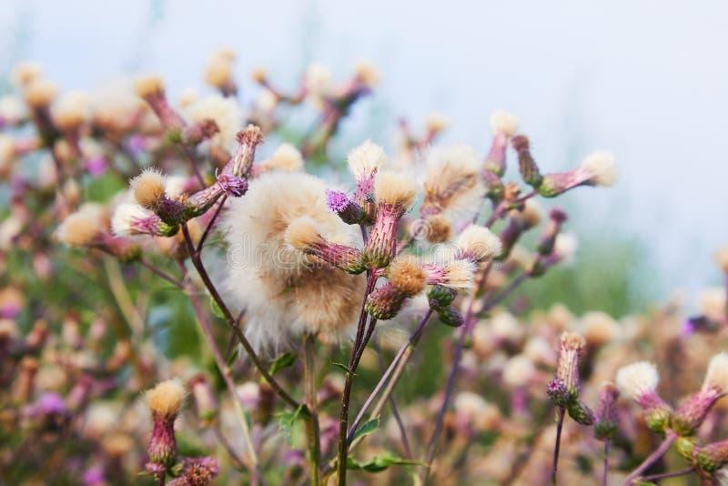 Blomstra tisteln, Cirsiumarvense Lös arvense för tistelgräsCirsium, krypa tistel i sommar arkivfoto