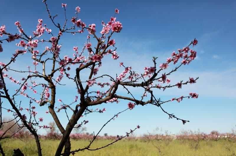Blomstra trädet över bakgrund för natur och för blå himmel arkivbild