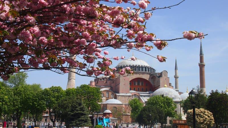 Blomstra trädet med en sikt av Aya Sophia arkivbilder