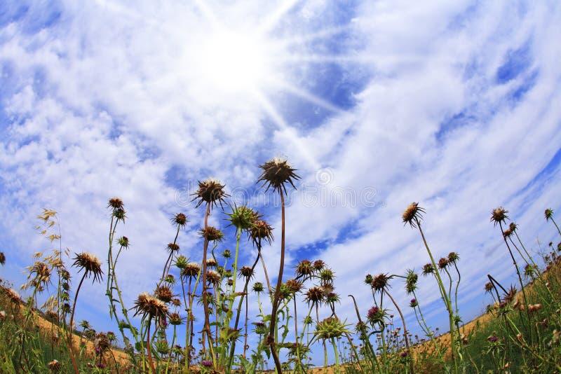 blomstra trädgårds- thistles royaltyfri foto