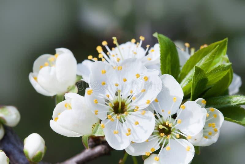 blomstra tree för äpple Vit blomma för makrosikt härlig liggandenaturfjäder mjukt bakgrundsfoto royaltyfri fotografi