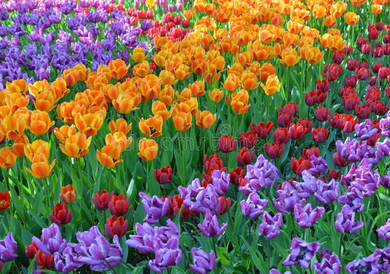 Blomstra tulpanbakgrund royaltyfri fotografi
