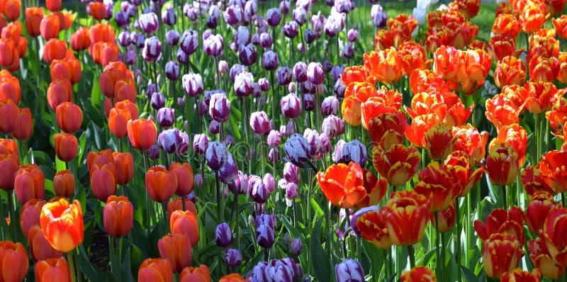 Blomstra tulpancloseupen royaltyfria bilder