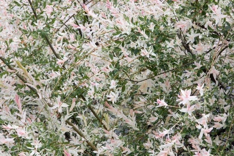Blomstra vårbusken med rosa blommor arkivfoto