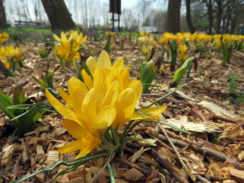 Blomstra vårkrokusar royaltyfri bild