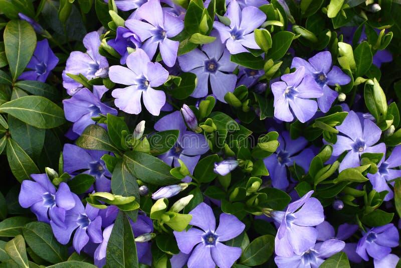 Blomstra vincaen. royaltyfria bilder