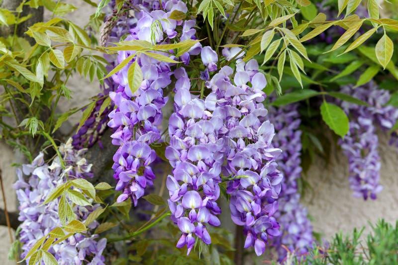 Blomstra violetta wisteriablommor med unga vårgräsplansidor på husväggen arkivbilder