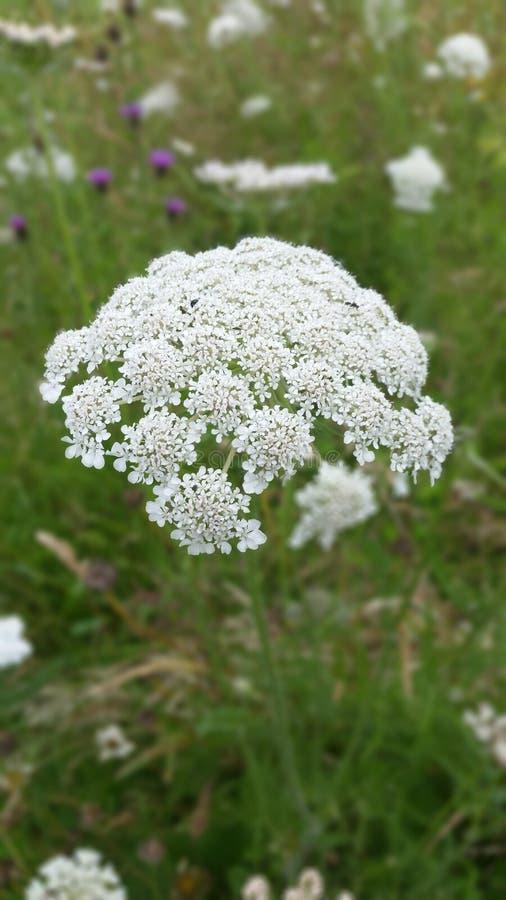 blomstra white royaltyfria bilder