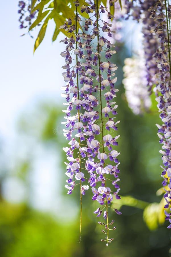 Blomstra wisteria i trädgården i vårtid arkivfoton