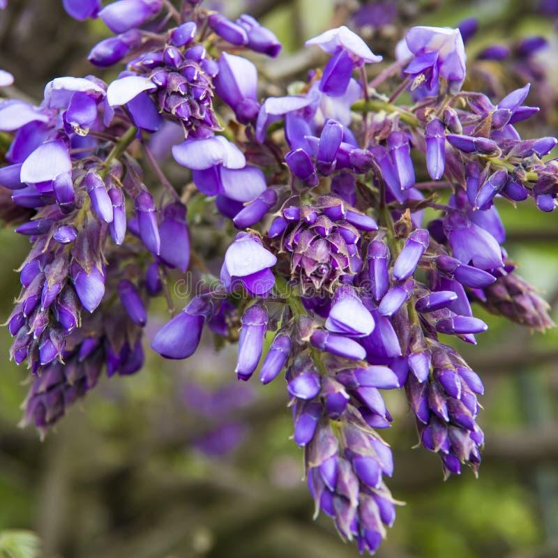Blomstra Wisteria i vårsäsong i trädgård arkivbild