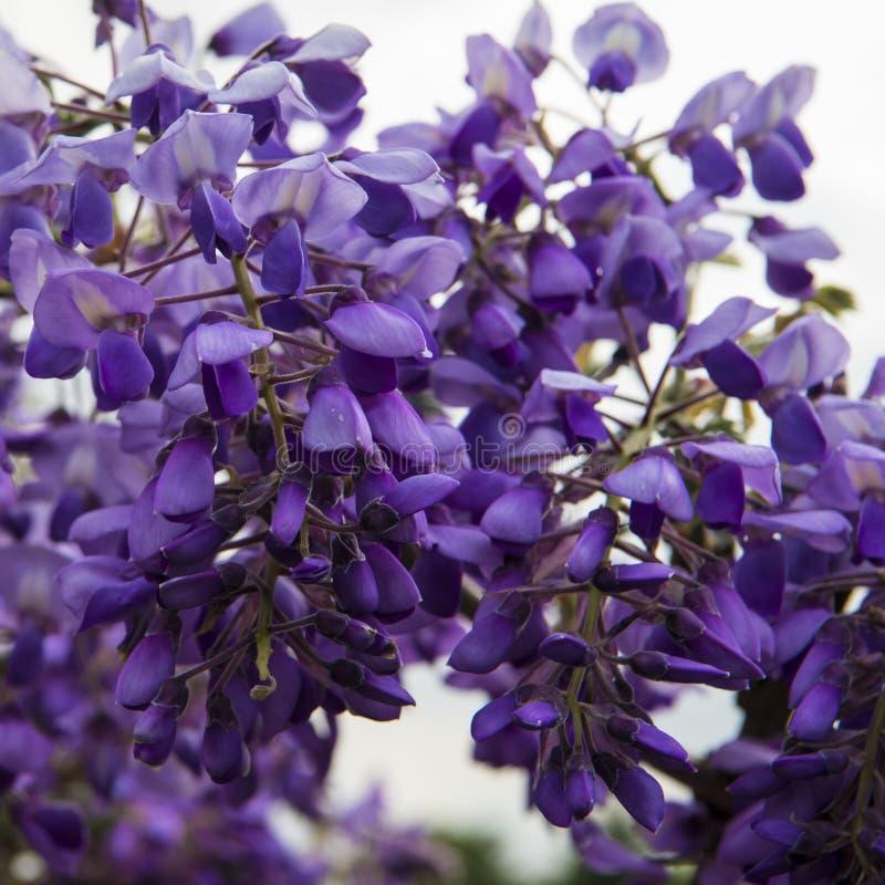 Blomstra Wisteria i vårsäsong i trädgård royaltyfria bilder