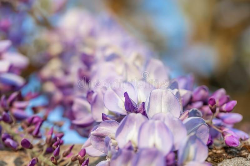 Blomstra wisteriafilialen i en frukttr arkivfoton