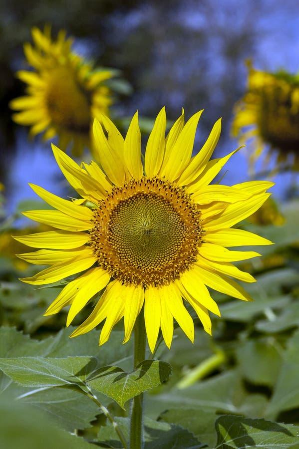 blomstrad fullt solros arkivfoton