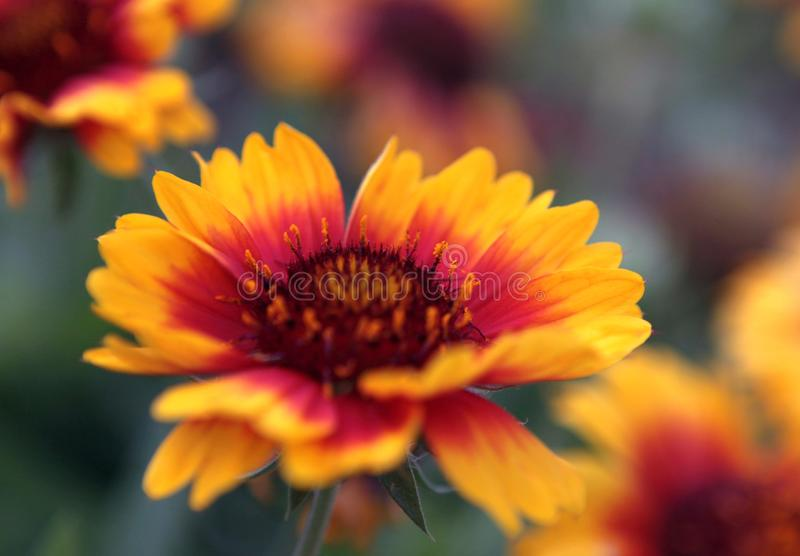 Blomstrade gula blommor Blom- och kronbladbegrepp arkivbild