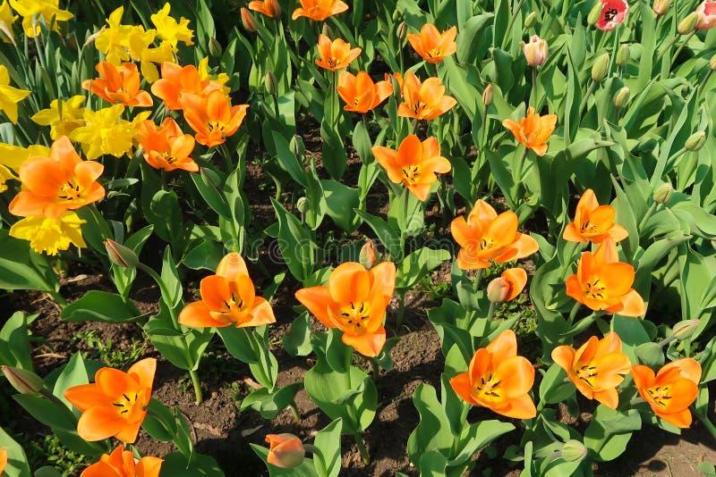 Blomstrade orange tulpanblommor på rabatten bland andra tulpanknoppar arkivbilder