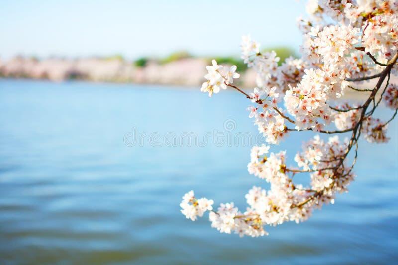 blomstrar Cherrydc washington royaltyfria bilder