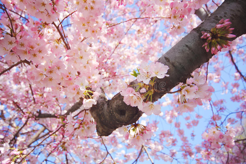 blomstrar Cherrydc washington arkivfoton