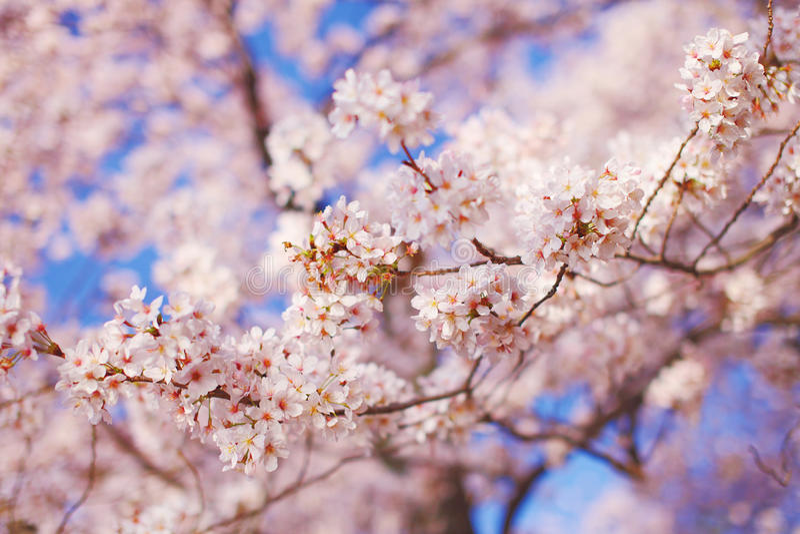 blomstrar Cherrydc washington royaltyfria foton
