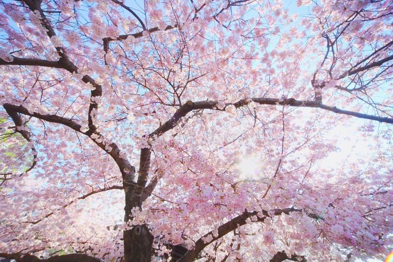 blomstrar Cherrydc washington arkivbild