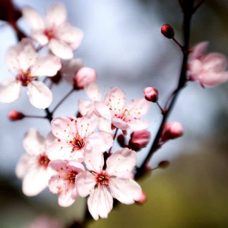 blomstrar Cherryet royaltyfria foton