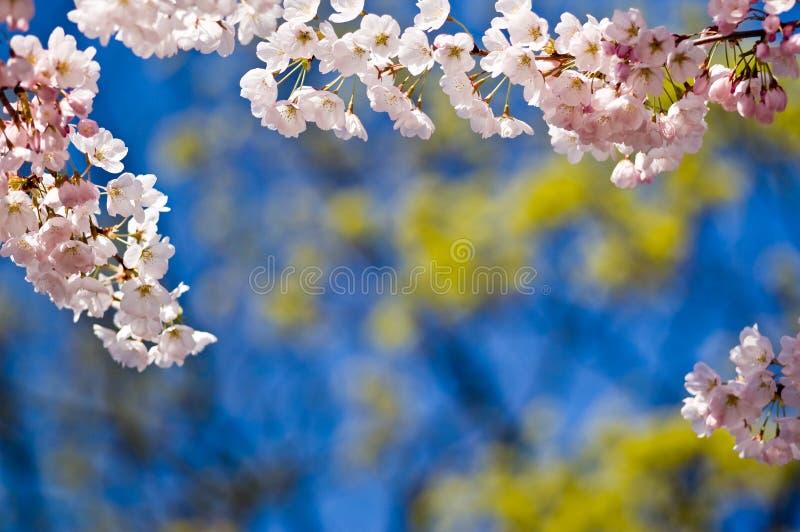 blomstrar Cherrykopieringsavstånd royaltyfri fotografi