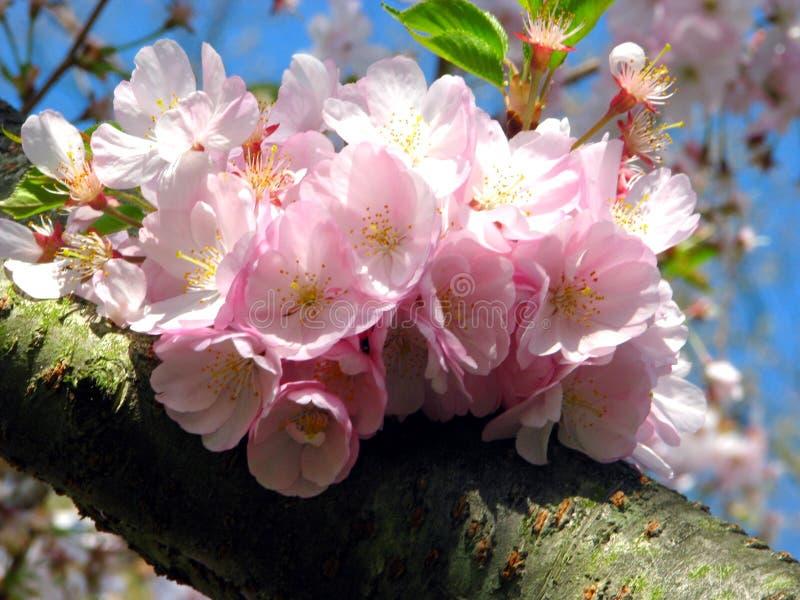 blomstrar Cherrypink arkivfoto