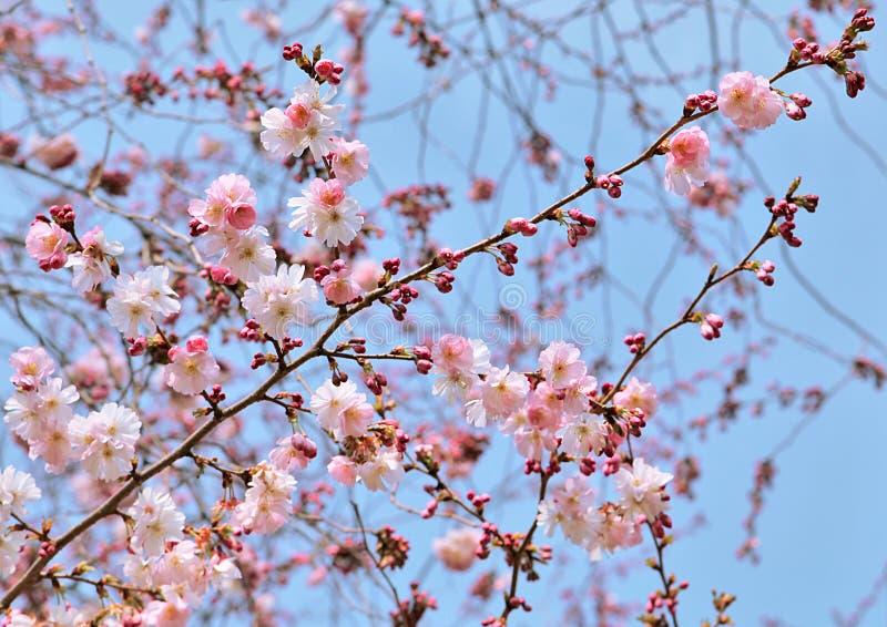 blomstrar Cherrypinkfjädern royaltyfri fotografi
