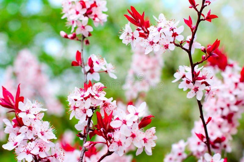 blomstrar Cherrytreen royaltyfri foto