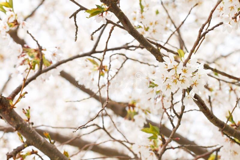 blomstrar Cherrywhite royaltyfria foton