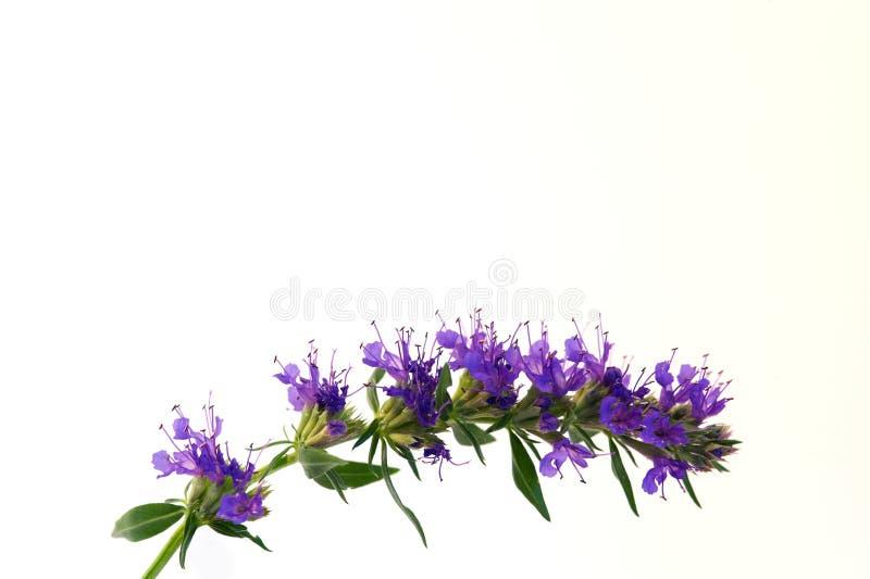 blomstrar den blåa hyssopen fotografering för bildbyråer
