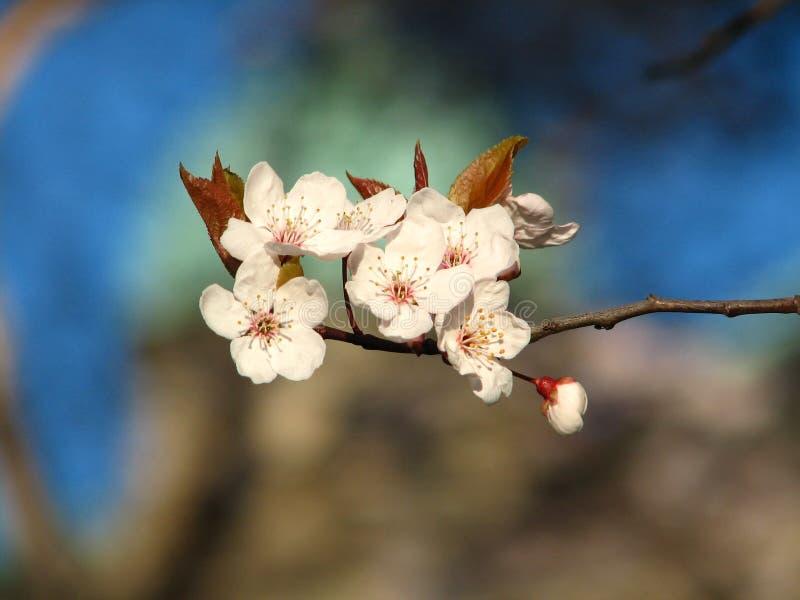 blomstrar den Kanada Cherryfjädern fotografering för bildbyråer