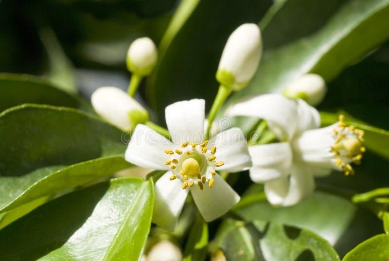 blomstrar den orange treen arkivfoto