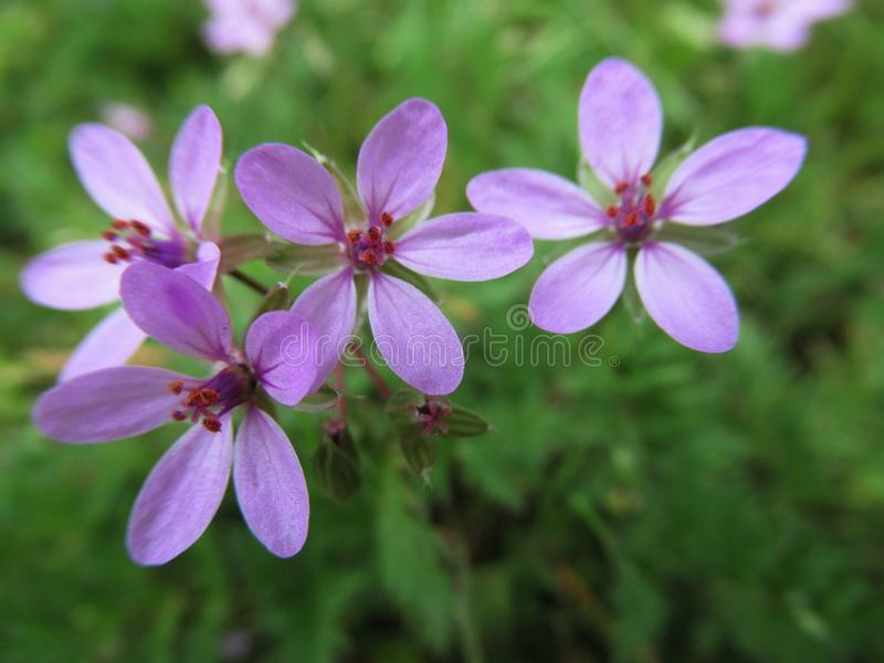 Blomstrar lösa purpurfärgade blommor för nätt & ljus Closeup parkerar in trädgården 2019 arkivfoton