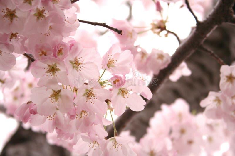 blomstrar lite varstans Cherryet royaltyfria foton