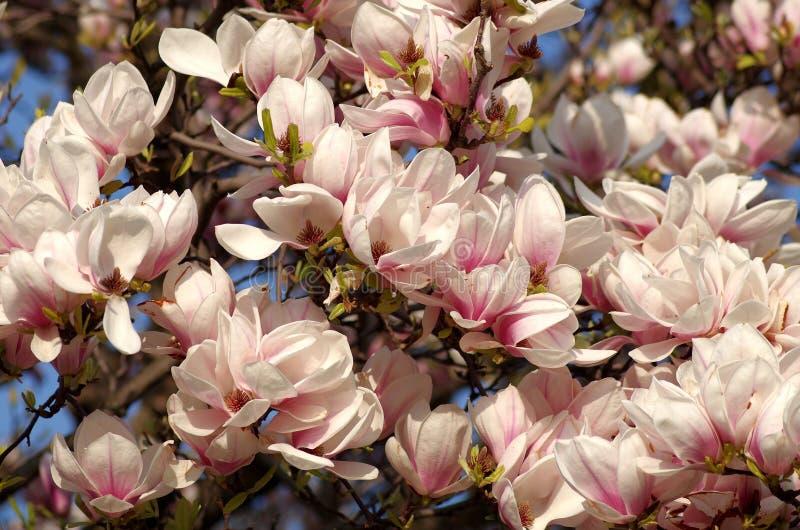 blomstrar magnoliapink royaltyfria foton