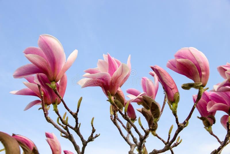 blomstrar magnoliapink arkivbilder