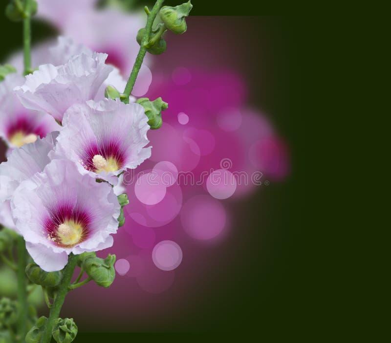 blomstrar mallowpink royaltyfria foton