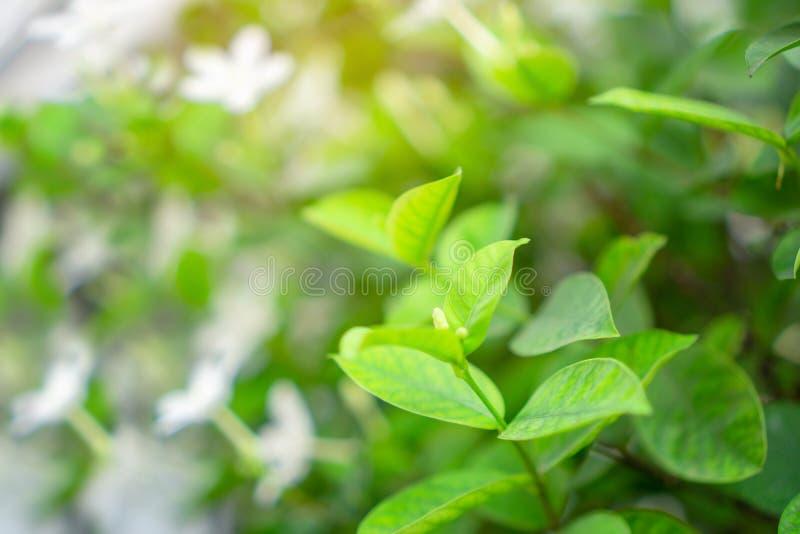 Blomstrar mjuka gröna sidor för ny ung knopp på suddig bakgrund för naturlig grönskaväxt och för vit blomma under solljus i trädg royaltyfri fotografi