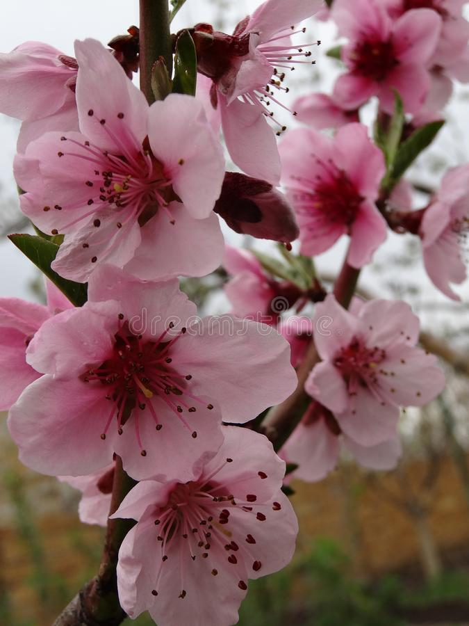 blomstrar persikafjädern royaltyfri foto