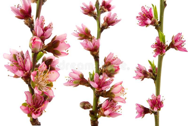 blomstrar persikan arkivbild