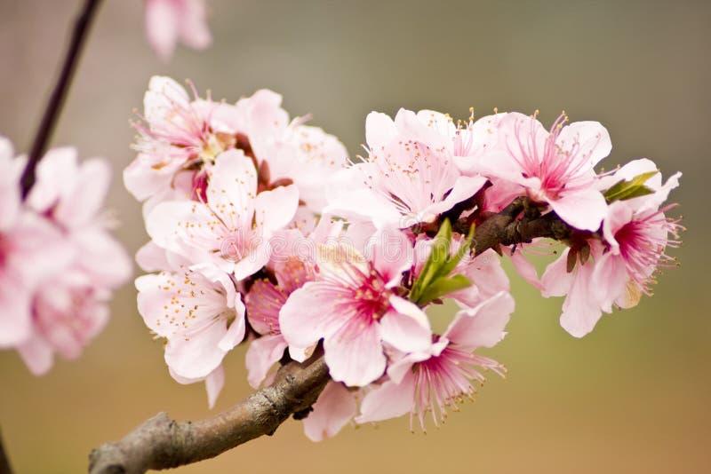 blomstrar persikan arkivfoton