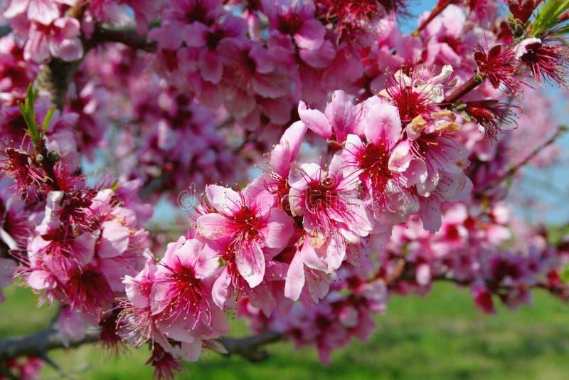 blomstrar persikan royaltyfria foton