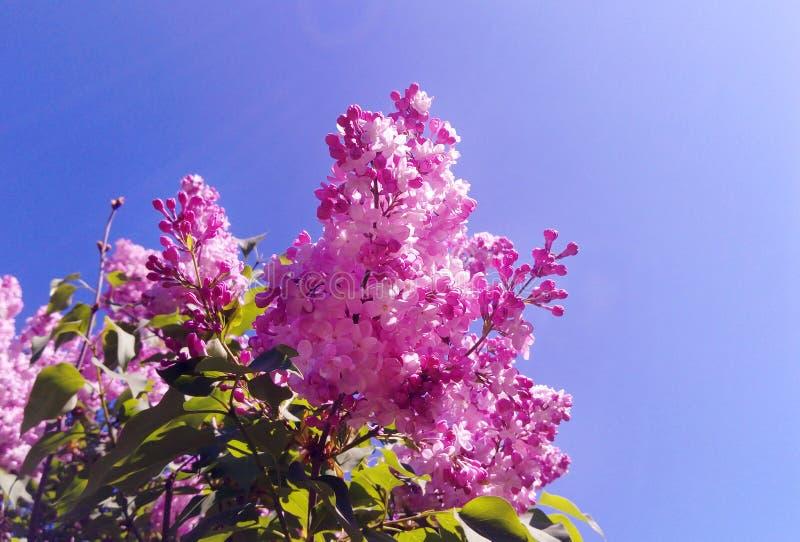 Blomstrar vulgaris blommor för purpurfärgad lila Syringa under blå himmel i botaniska trädgården royaltyfria bilder